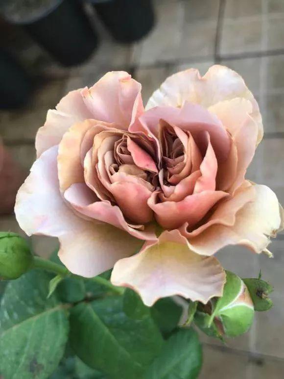 """月季品种""""拿铁咖啡""""复古色月季,独特的咖啡色花"""